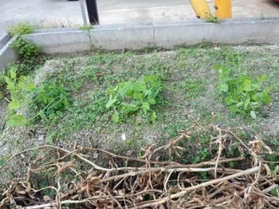 日本絹莢豌豆