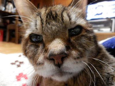 ご長寿ネコみゃぶすけ