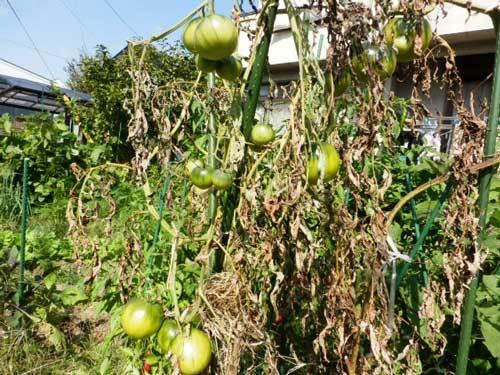 世界一トマト