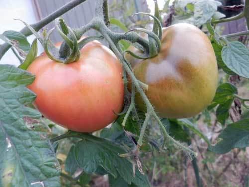 ポンデローザトマト