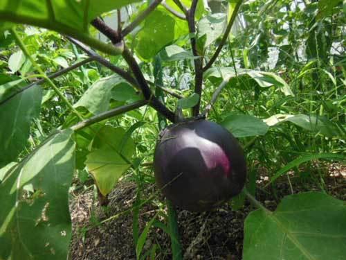 泉州絹皮水茄子