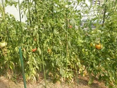 ポンデローザトマトと世界一トマト