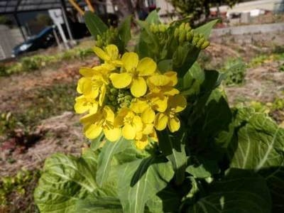 29.2.26菜の花.jpg