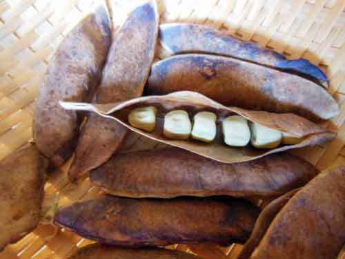 ツタンカーメンの黒い豌豆